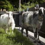 Dwie kozy z SDK'owej zagrody